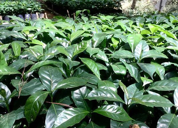 Arabica Coffee Seedlings (Min. 100 pcs)