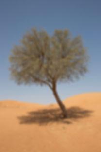 Single ghaf tree with midday shadow agai