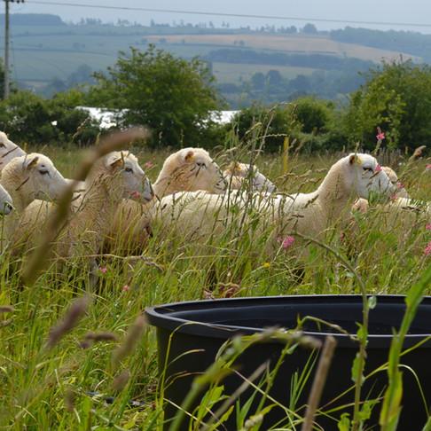 Mob-Grazing at FarmED