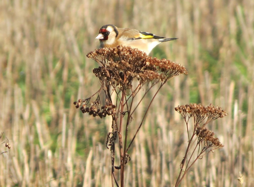 Goldfinch feeding on yarrow.jpg
