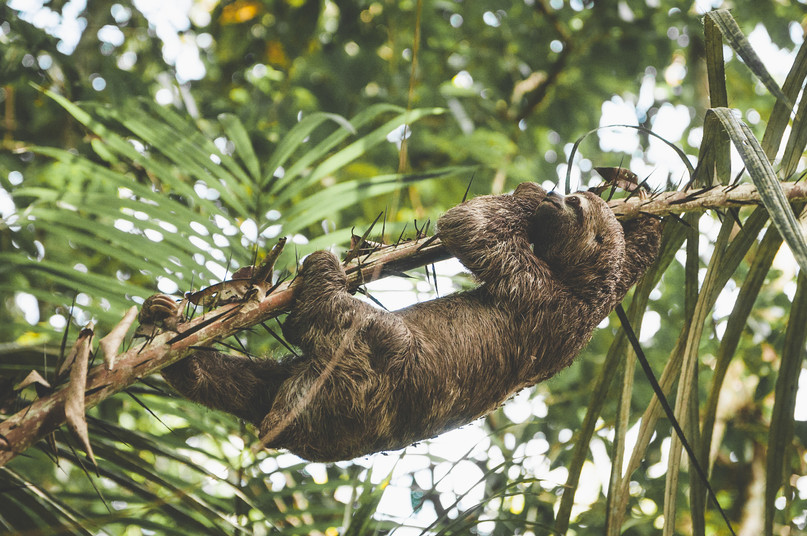 Sloth Climbing Tree web.jpg