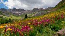 Wildflowers in American Basin – Hinsdale County, Colorado