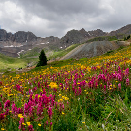 Wildflowers in American Basin – Hinsdale County, Colorado