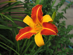 Bi-Color Day Lily
