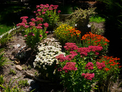 Sedum and Mums