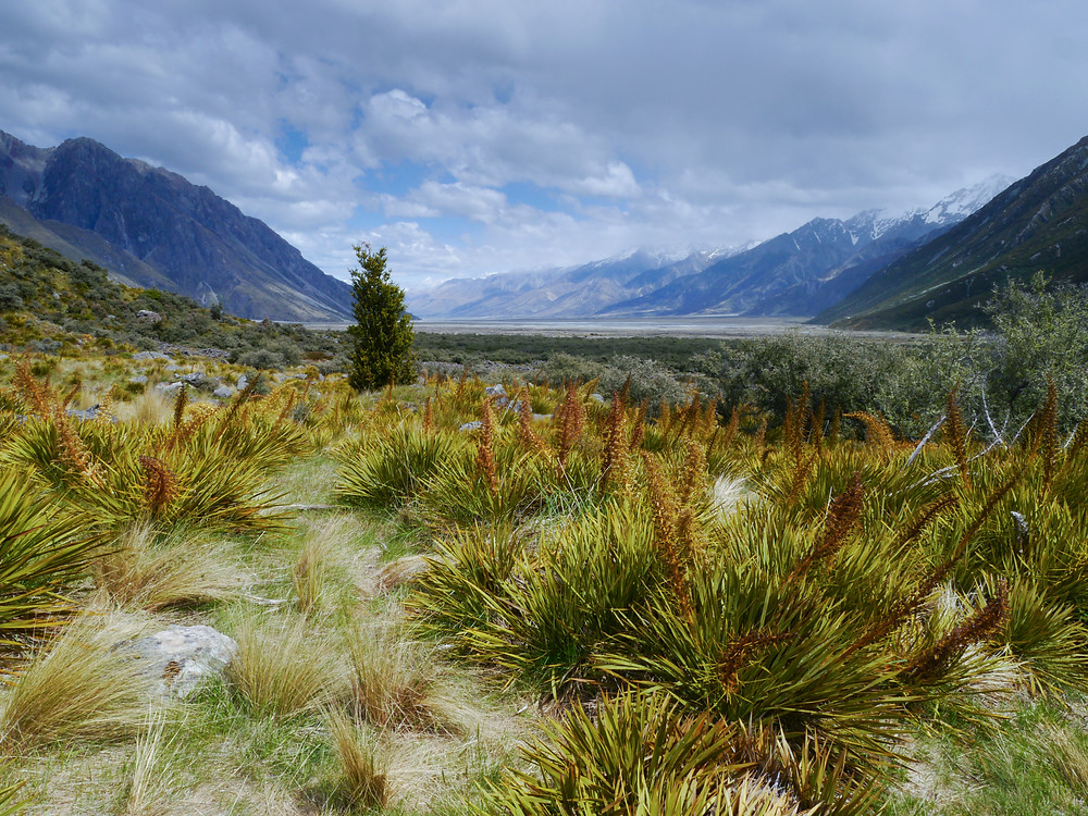 Beautiful moraine landscape with Speargrass/taramea (Aciphylla), also called Wild Spaniards, or by it its more common name, Bayonette-grass and Bloody Spaniard