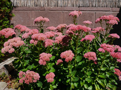 Sedum (Autumn Joy)