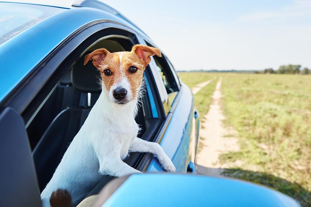 a cute dog looks outside a car window.