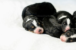 F1 Tricolor Bernedoodle Puppies