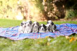 F1 Aussiedoodle Puppies