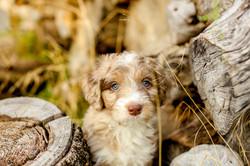 Australian Mountain Doodle Puppy
