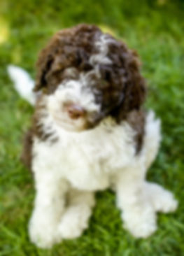 Cottonwood Creek Doodles- Utah Aussiedoodle and Bernedoodle breeder.