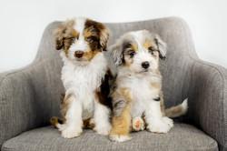 Australian Mountain Doodle Puppies