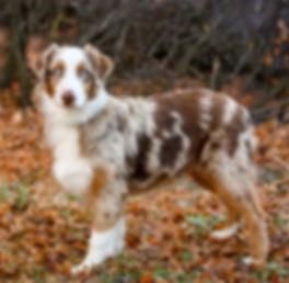 Cottonwood Creek Doodles- Utah Aussiedoodle and Bernedoodle breeder.