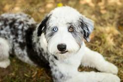 Indi- F1 Blue Merle Aussiedoodle
