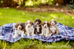 F1B Aussiedoodle Puppies