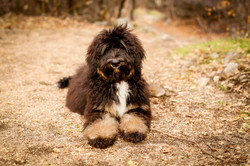 Zoey- F1 Tricolor Bernedoodle