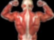 kisspng-human-body-skeletal-muscle-muscu