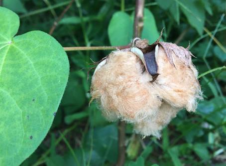 Brown Cotton?