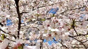 春爛漫..*