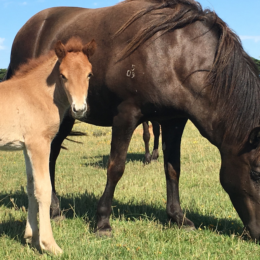 Lif and filly born 31.12.2016