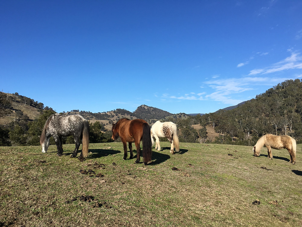 Imported Mares at Megalong Valley Icelandics