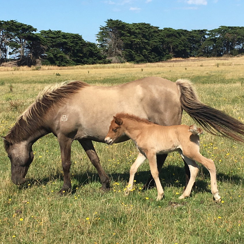 Gledi and colt born 1.1.2017