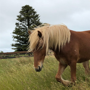 New Icelandic horses for Sale