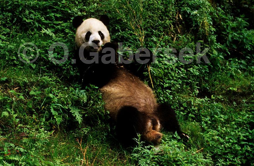 Sichuan parc de Wolong panda géant