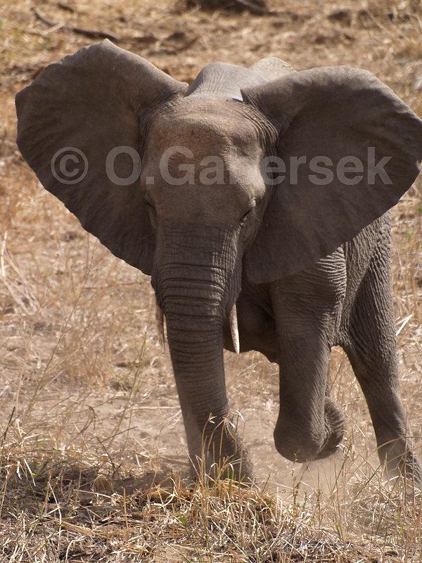 Kruger - Eléphant