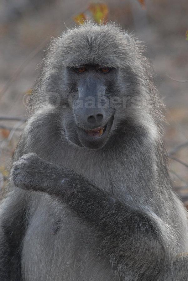 Kruger - Singe
