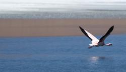 bolivia flamingos