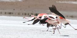 Carrera de Flamingos