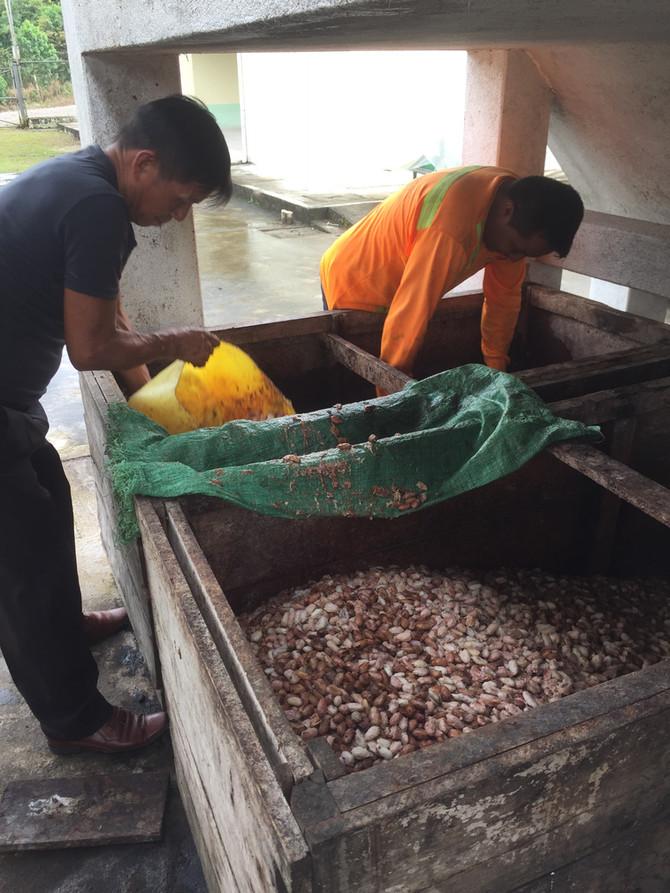 Fermantado Cacao Fase 3