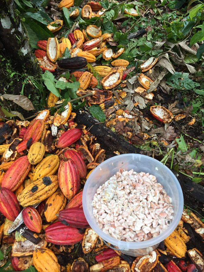 Cosecha Cacao Fase 1