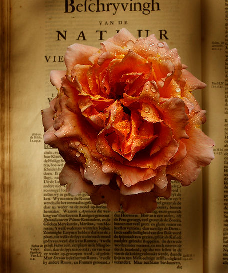 Rose over a book