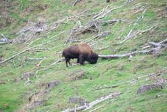 Bison in NZ?