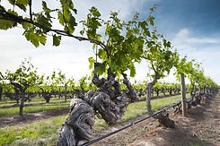 old-vines-south-australia-wine-story-ade