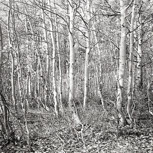 Twisted Aspen Grove