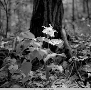 Common White Trillium