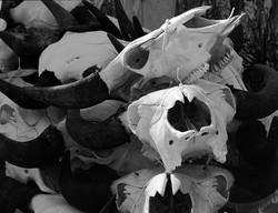 Cow skulls tied together, IG