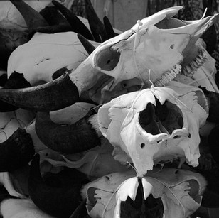Cow skulls for sale