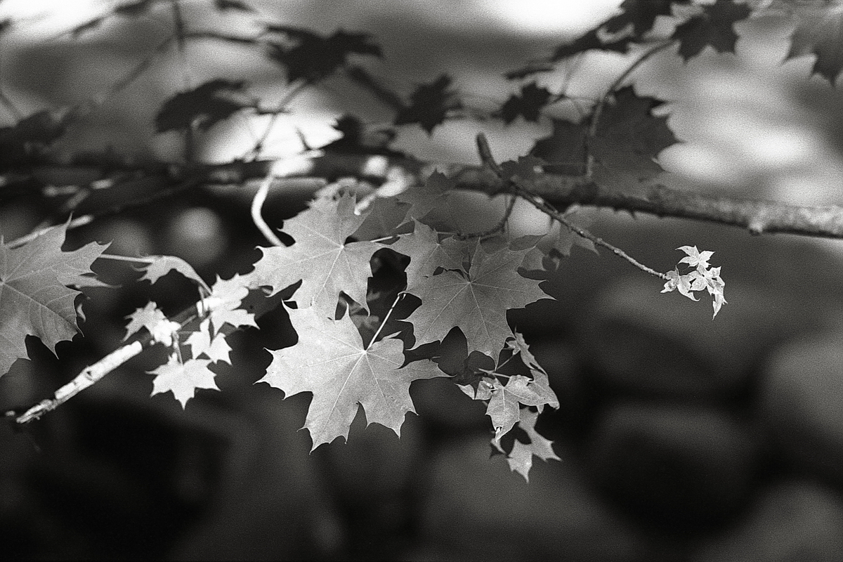 Sunlit Leaves_Pentax SPII_Arista Premium 400-sm