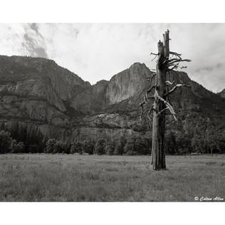 Tree in Yosemite Valley, 2012