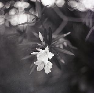Oleander Blooms