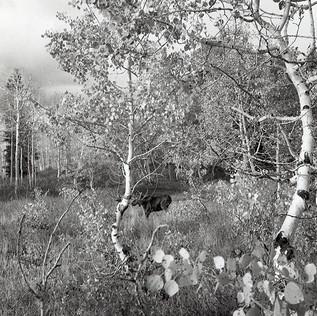 Moose Amongst Aspen
