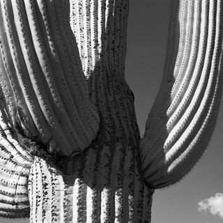 Saguaro cactus, Saguaro National Park
