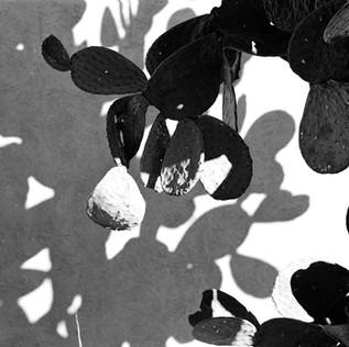 Cactus Shadows