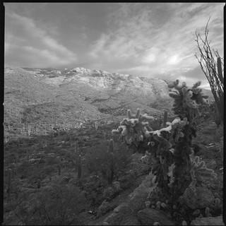 Snow on a cholla cactus, Rincon Mountains