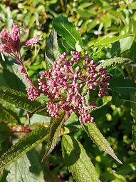 Eutrochium purpureum 'Little Jo'
